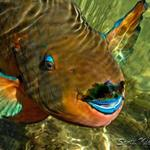 smallparrotfish3wtmk