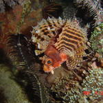 Malapascua Island, night dive, small Lion Fish