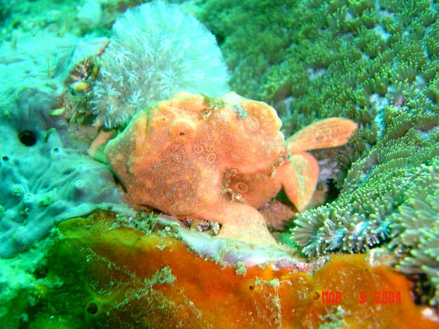 Gato Island, near Malapascua, Philippines. Painted FrogFish, afternoon dive