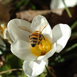 Bee in Crocus 3200
