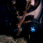 Diver with Harlequin Ghost Pipefish