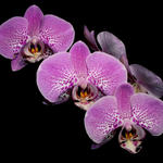 Phalaenopsis Orchid.  Macro.  f8, 1/2000s, INON Z-220 with -3 stop diffuser for flash fill.