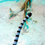 "Banded Sea Snake.  I couldn't risk a ""head on"" shot !"