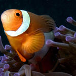 Pop goes the Anemonefish