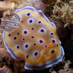 Chromodoris geminus Nudibranch.  This nudibranch is not supposed to be found outside of the Indian Ocean.  Found in Java Sea.