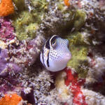 Canthigaster valentini, Black Saddled Toby, Ellaidhoo House Reef, North Ari Atoll, Maldives
