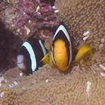 Clark's Anemonefish, Baathala House Reef, Maldives