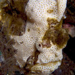 Painted Frogfish, Antennarius pictus