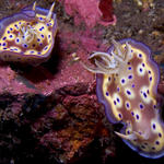 A pair of Chromodoris kuniei nudibranchs