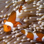 False Clown Anemonefish, Amphiprion ocellaris