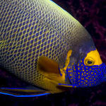 Yellow-Mask Angelfish, Pomacanthus xanthometopon