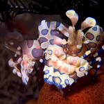 Pair of Harlequin Shrimp, Hymenocera picta