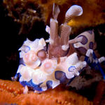 Harlequin Shrimp, Hymenocera picta