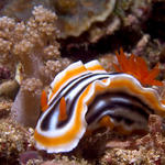 Chromodoris magnifica nudibranch, Kilima Steps, f8.0, 1/2000s