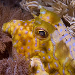 Thornback Cowfish, Lactoria fornasini, La Laguna Shallows, f8.0, 1/320s