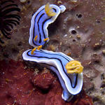 Chromodoris lochi nudibranch, Sabang Point, f8.0, 1/320s