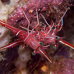 Cleaner Shrimp, Sabang Wrecks, f6.3, 1/160s