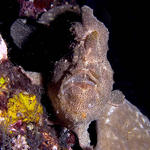 Giant Frogfish, Antennarius commersoni, Sabang Wrecks, f8.0, 1/320s.
