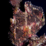 Giant Frogfish, Antennarius commersoni, Sabang Wrecks, f8.0, 1/1000s.