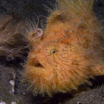 Striped Frogfish, Hairy variation Antennarius striatus