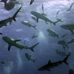 Shark Feed at Amberjack Reef